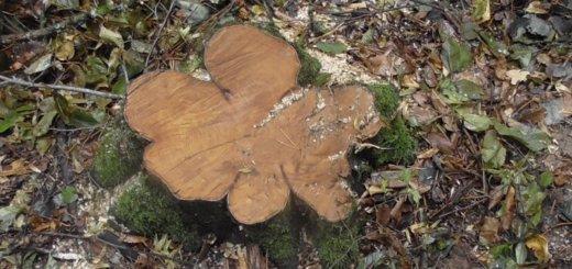 Предприниматель из Гродно заплатит штраф 10.5 тысяч рублей за два лишних спиленных дерева.