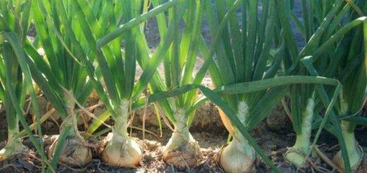 Немецкий фермер организовал под лидой прибыльное выращивание речатого лука
