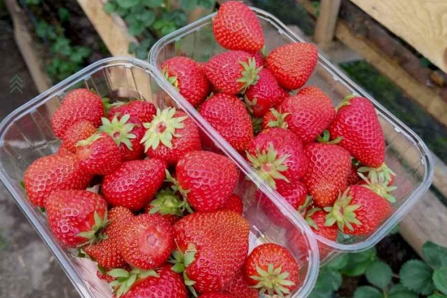 Девушка организовала «ягодный бизнес» и вот результат